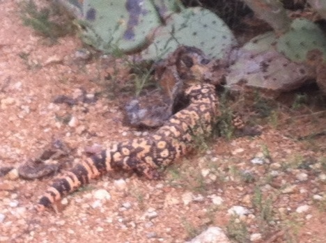 Our first Gila monster sighting!